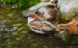 House Sparrow - Male