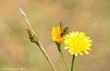 Smooth Hawksbeard with Flower Fly