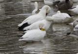 Tagged Snow Goose