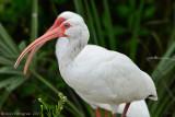 White-Ibis---Sanibel---610_9773.jpg