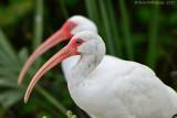 White-Ibis---Sanibel---610_9775.jpg