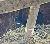 Common Raven Nestlings