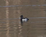 Ring-necked Duck - Male