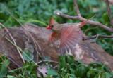 Northern Cardinal - Female