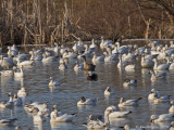 Ross's Goose, Pink-footed Goose, Snow Geese