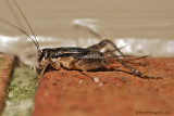 House Cricket - Female