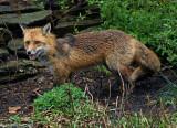 Red-Fox---S7307201.jpg