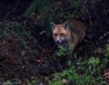 Red-Fox---S7307310.jpg