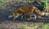 Red Fox - Female