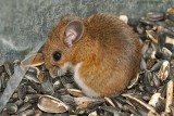 White-footed Deer Mouse