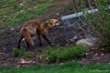 Red Fox with an Eastern Gray Squirrel