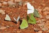 Yellow angled-sulphurs and Common Melwhites Puddling
