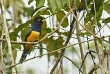 Gartered Trogon - Male