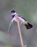 White-collared Seedeater - Male