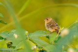 White-collared Seedeater - Female