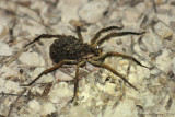 Wolf Spider with Hatclings