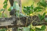 Spot-breasted Wren