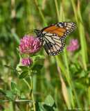 Monarch on Clover