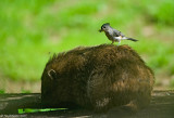 Tufted Titmouse Plucking Hair from a Groundhog