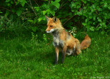 Red Fox - Male