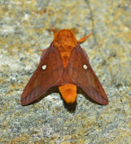 Spiny Oakworm Moth - Male