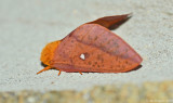 Spiny Oakworm Moth - Female