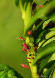 Goldenglow Aphids