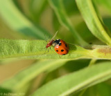 Seven-spotted Lady Beetle with Goldenglow Aphid