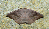 Curve-toothed Geometer