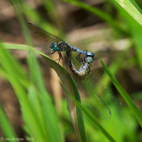 Mating Blue Dashers