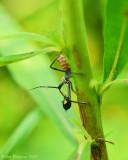 Wheel Bug Nymph with Beetle