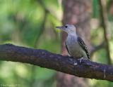 Red-bellied Woodpecker Fledgling