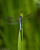 Blue Dasher (Male)