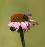 Hostile Leaf-cutter Bee
