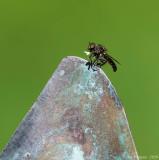 Predatory Fly sp.
