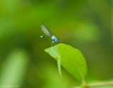 Blue-fronted Dancer - Male