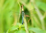 Eastern Pondhawk - Male
