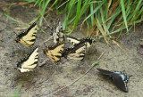 Eastern Tiger and Spicebush Swallowtails - Males