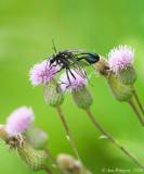 Mating Wasps