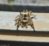 Emerald Jumping Spider