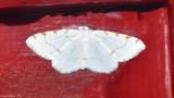 Lesser Maple Spanworm Moth