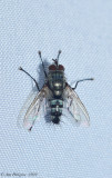 Parasitic Fly sp.