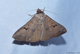Brown Panopoda
