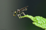 Robber Fly with a Springtail