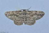 Common Gray