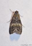 Moth sp. (possible Maple Webworm)