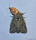 Oblique-banded Leafroller with Unkown Moth
