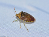 Stink Bug sp.