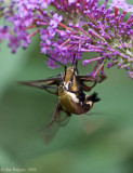 Snowberry Clearwings
