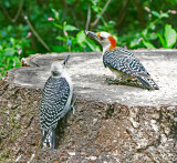 Red-bellied Woodpecker Female with Juvenile